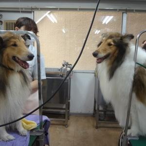 トリミング 犬達のシャンプー&カット 13のサムネイル