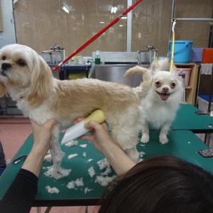 トリミング 犬達のシャンプー&カット 11のサムネイル