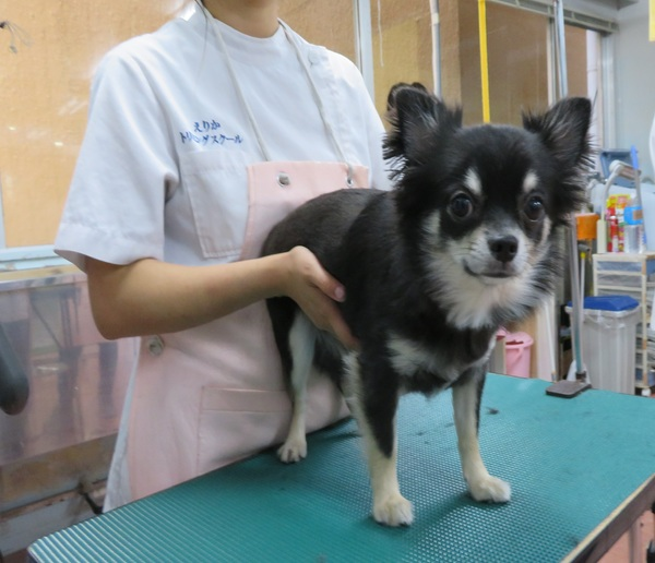 鹿児島市のえりかトリミングスクールに来てくれたモデル犬紹介